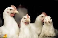 Causas da bicagem e do canibalismo entre galinhas poedeiras