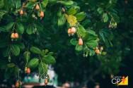Miniguia simples e fácil para cultivar caju