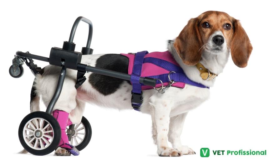 Sr. Veterinário, saiba mais sobre a fisioterapia animal   Artigos VetProfissional