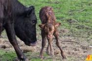 Como tratar o umbigo do bezerro recém-nascido