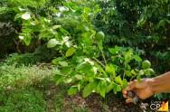 Limão Taiti: conheça os melhores clones e porta-enxertos