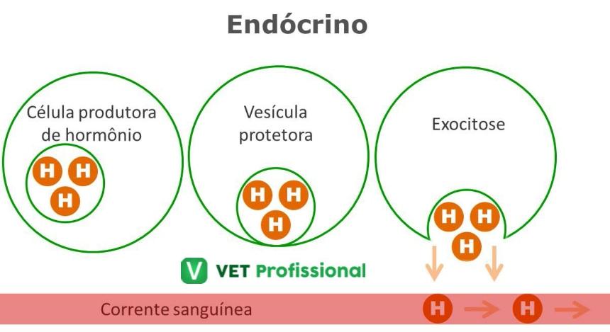 Atuação hormonal: endócrino    VetProfissional