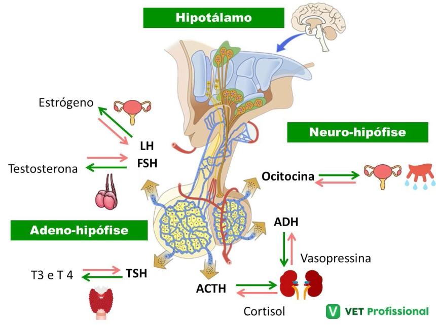 O hipotálamo e a produção de hormônios      Artigos VetProfissional