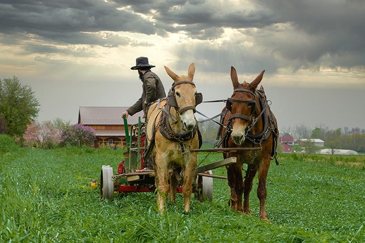 Cavalos trabalhando
