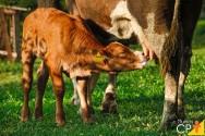 Gestão zootécnica na pecuária leiteira: principais doenças em bezerras