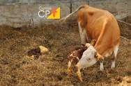 Gestão zootécnica na pecuária leiteira: cuidados especiais com as bezerras e animais adultos