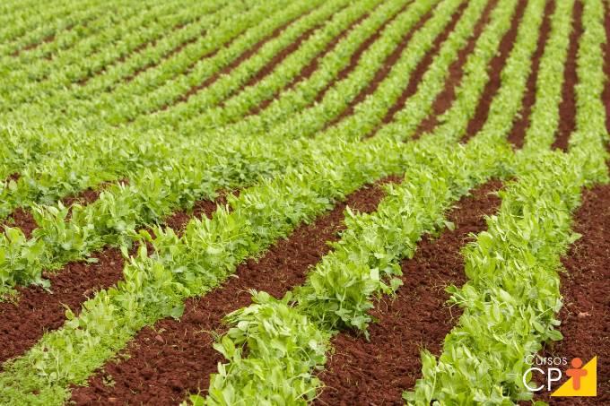 Dicas para plantar e cultivar ervilha