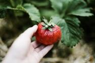 Vai plantar morangos orgânicos? Antes cuide do solo!