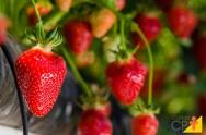 Plantio de morango orgânico: recomendações, o que pode e o que não pode fazer