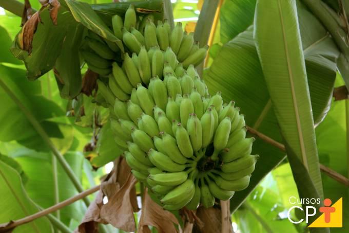 Principais diferenças entre as variedades de banana