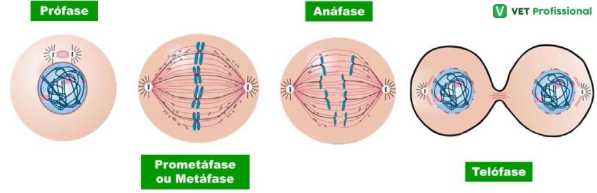 Fases da mitose   VetProfissional