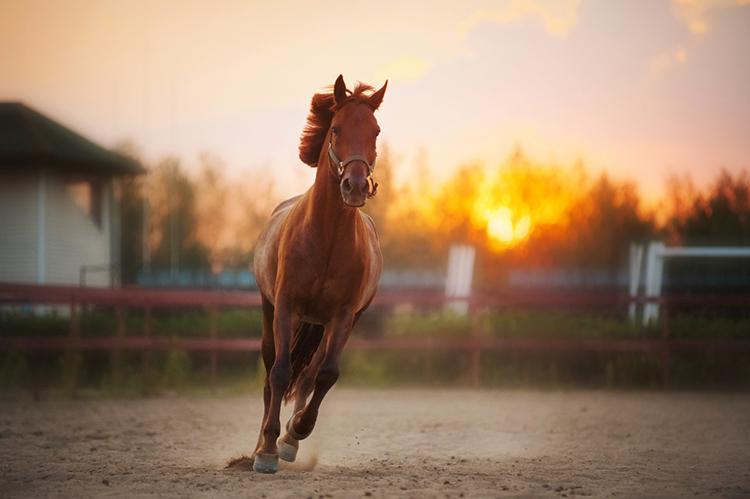 Cavalo campolina - imagem meramente ilustrativa