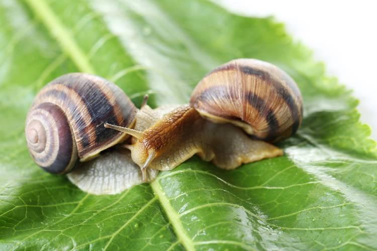 6 espécies de escargot comestíveis para criar e ganhar dinheiro