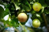Orientações de especialistas sobre plantio de maracujá