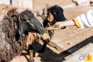 Terminação de cordeiros em pastagem: sim ou não?