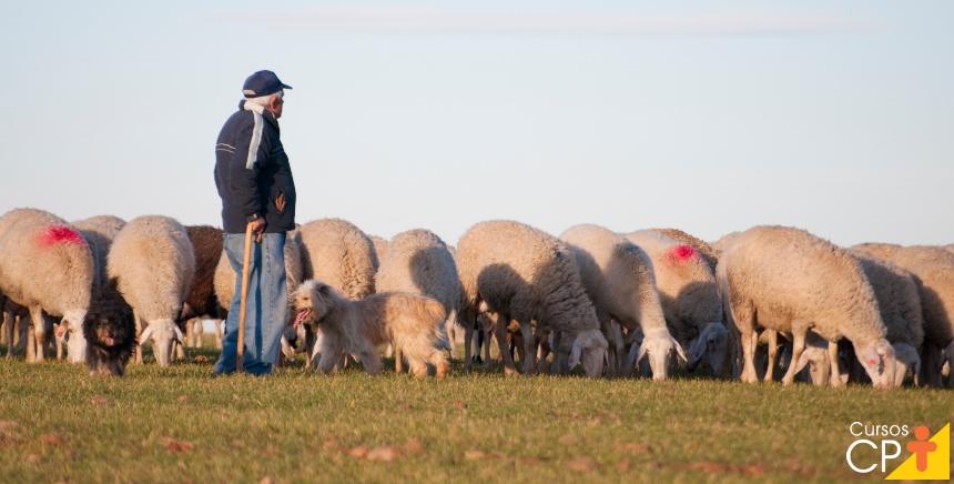 Por que criar ovinos de corte? Por que o negócio é muito vantajoso!   CPT