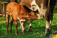 Programa de manejo de vacas no período de transição: como avaliar?