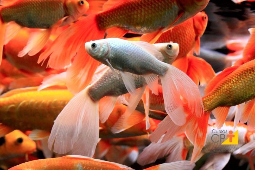 Nutrição de peixes ornamentais: como proceder   Dicas Cursos CPT