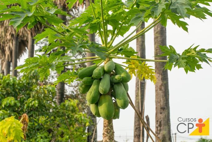 Miniguia fácil para cultivar mamão orgânico