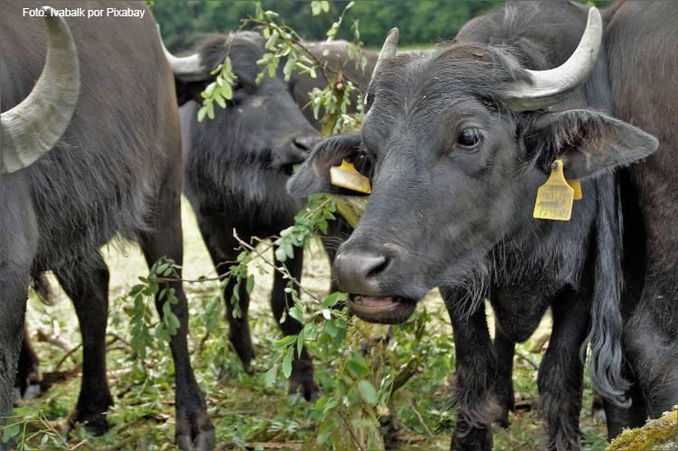 Principais características dos búfalos