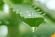 Propriedades medicinais da Aloe vera