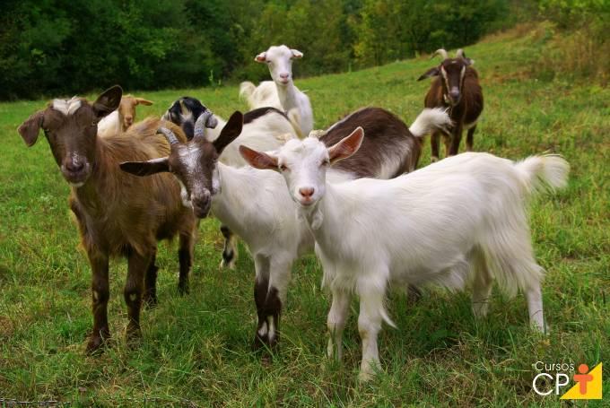 Maturidade sexual e seleção de caprinos para reprodução