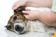 Tudo o que você precisa saber sobre otite canina