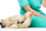 Micoplasmose em aves causa grandes perdas econômicas e subclínicas