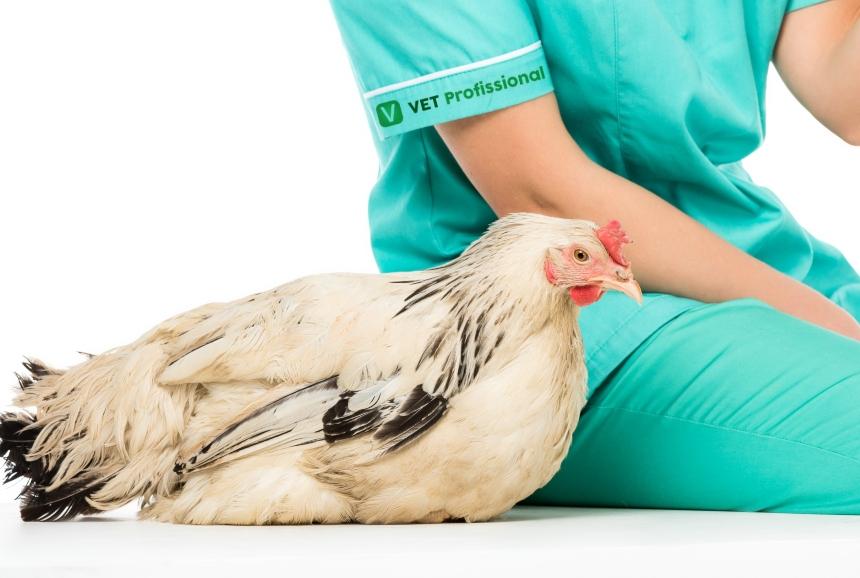 Micoplasmose em aves causa grandes perdas econômicas e subclínicas   VetProfissional