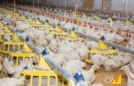 Uso de enzimas no manejo alimentar de frangos