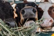 Por que o pecuarista deve conhecer o comportamento de seu gado?
