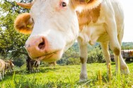 Parasitas e bovinos. Como explicar esse relacionamento?