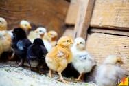 Cuidados com pintinhos de galinha caipira