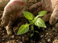 Como fazer mudas de pimenta-do-reino