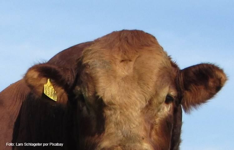 Principais características da raça bovina Bonsmara