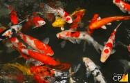 3 doenças em peixes ornamentais causadas por protozoários