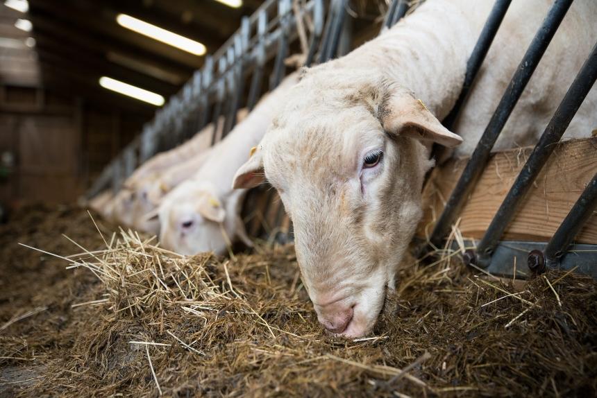 Alimentos fibrosos na alimentação de ovinos   Artigos CPT