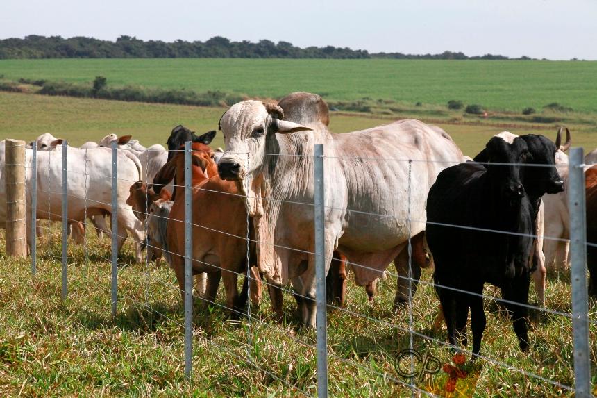 Especialista: indícios do efeito macho em bovinos são contraditórios   Artigos CPT