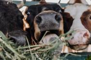 O sucesso na pecuária de leite? Eficaz manejo alimentar das vacas