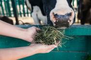 O desafio de todo pecuarista? Alimentação de vacas leiteiras no parto e pós-parto