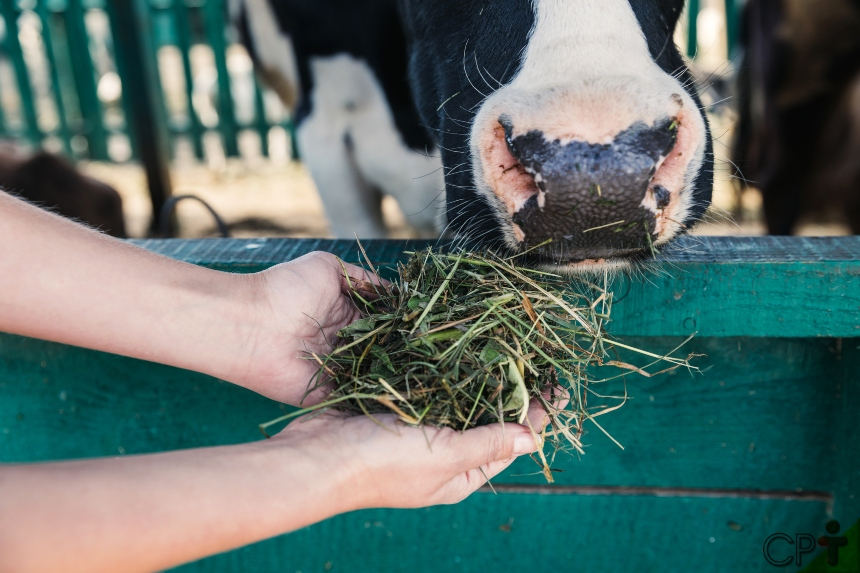 O desafio de todo pecuarista? Alimentação de vacas leiteiras no parto e pós-parto   CPT