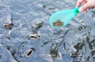 O manejo alimentar correto é fundamental para o criador de tilápias