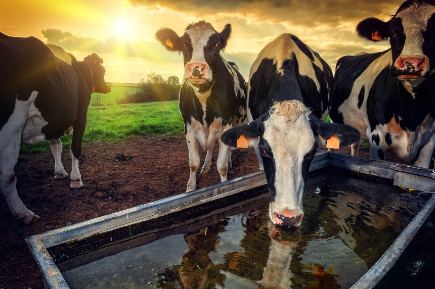 Especialista: Período seco de vacas leiteiras é importante e deve ser respeitado!