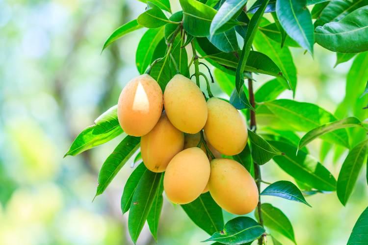 Manejo das principais pragas da mangueira