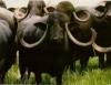 Criação de búfalos está em expansão
