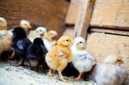 Vai criar galinhas caipiras? Acerte na escolha dos pintinhos!