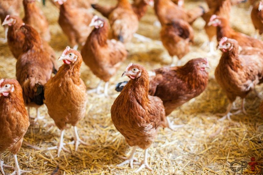 4 dicas para uma cama de galinha de qualidade. Siga-as!   Dicas CPT