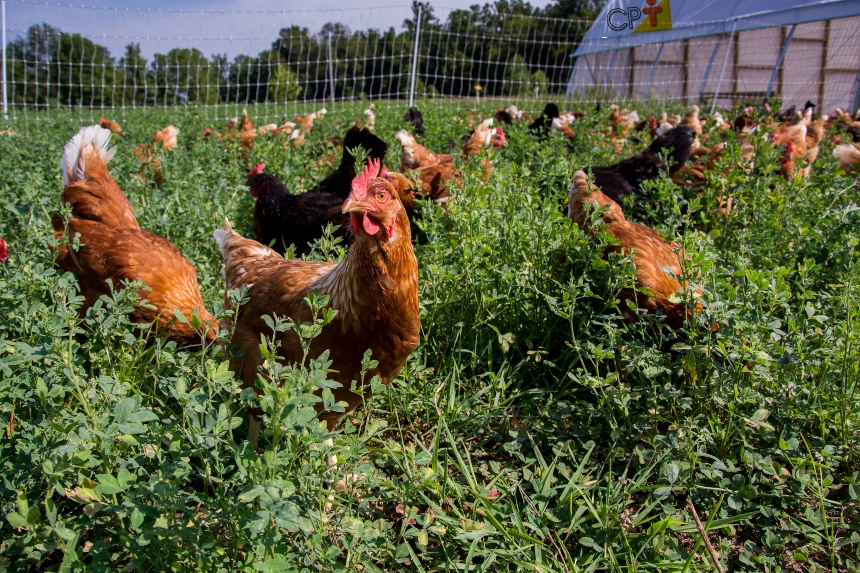 Como manejar piquetes de galinhas caipiras?   Artigos CPT