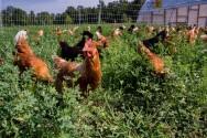 Como manejar piquetes de galinhas caipiras?