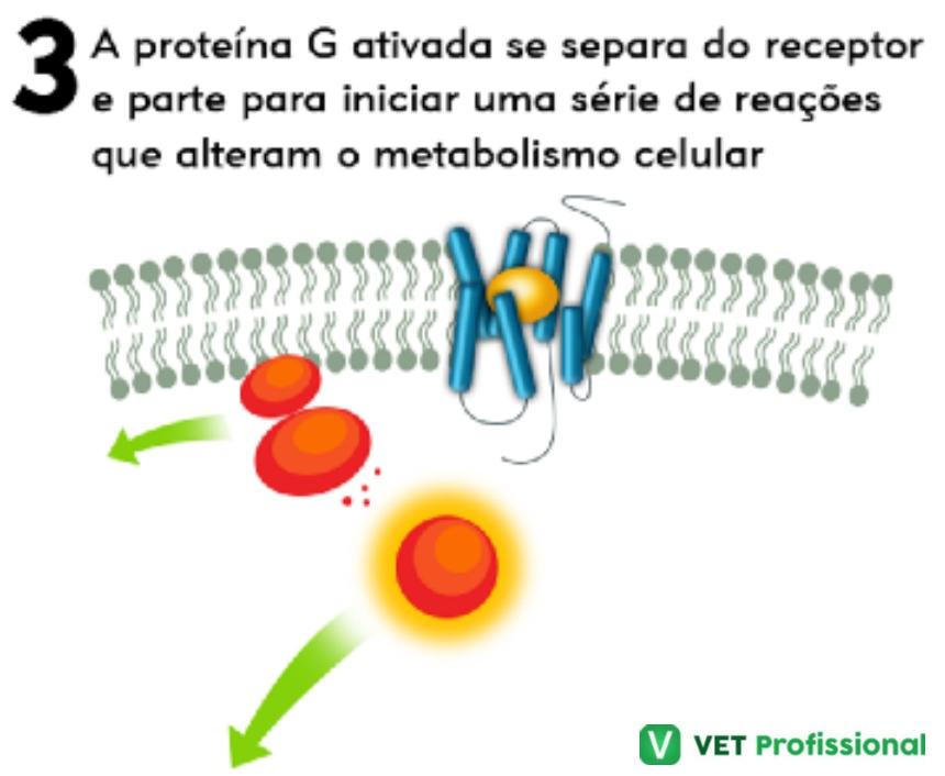 Proteína G   Artigos VetProfissional